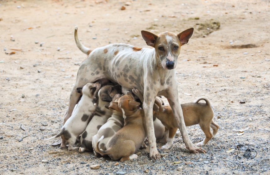 Stray mother dog feeding puppies with milk.